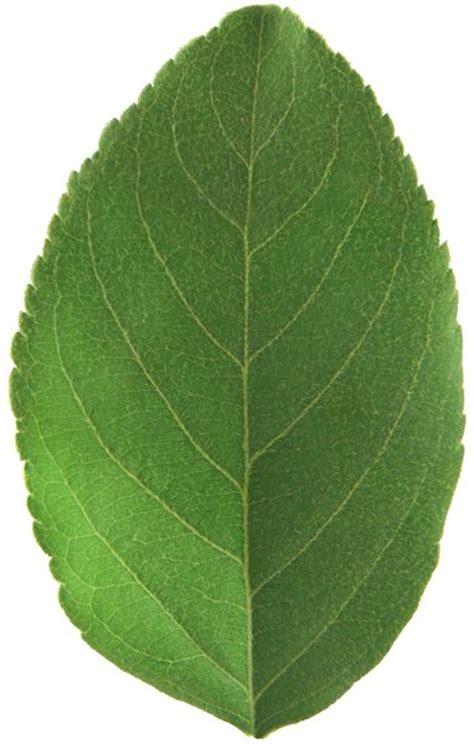 pattern for apple leaf gratis stock foto s rgbstock gratis afbeeldingen