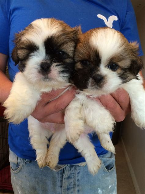 breed standard shih tzu kc standard shih tzu puppies hartlepool county durham pets4homes