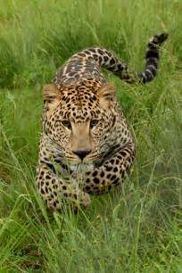 Jaguar Bangladesh File Charging Leopard 001 Jpg Wikimedia Commons