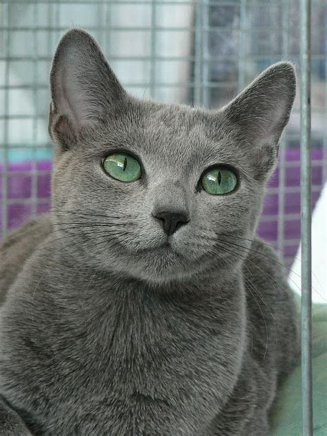 Russian Blue Cat History   Annie Many