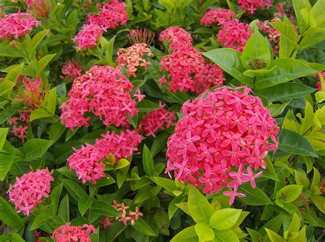 imagenes de flores isoras ixora wikipedia la enciclopedia libre