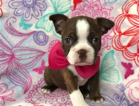 brown and white names what would you name this brown and white boston terrier boston terrier at