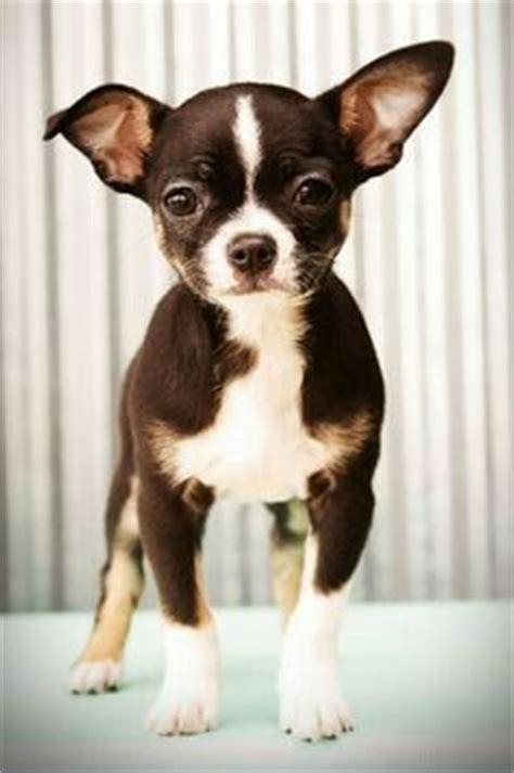 boston terrier puppies maryland 36 best images about chi crosses on