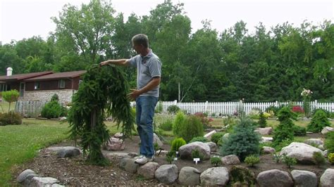 landscaping with conifers hill gardens series