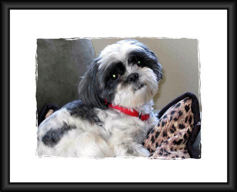 adopt a puppy mn strmn shih tzu rescue of minnesota breeds picture