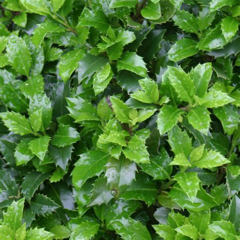How To Get Usda Certified castle wall 174 blue holly ilex x meserveae proven winners