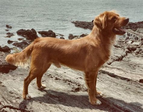 nova scotia duck tolling retriever dog breed information nova scotia duck tolling retriever dog breed information