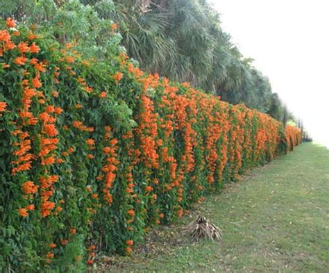 plants that climb fences 20 green fence designs plants to beautify garden design
