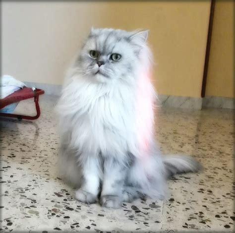persiani chinchilla gatto persiano chinchilla silver shaded petpassion