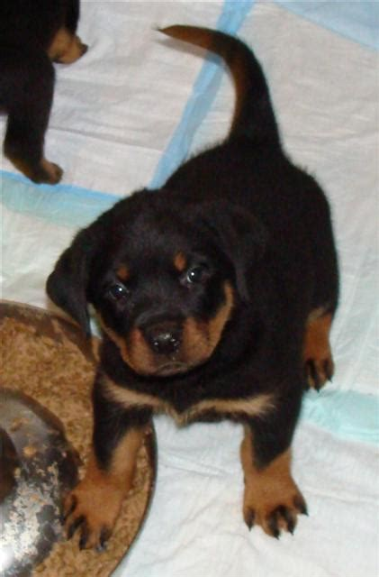 why are rottweilers tails docked tale of tails