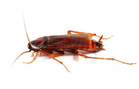 Help My Apartment Has Cockroaches Beetles And Cockroaches Treatment And Removal