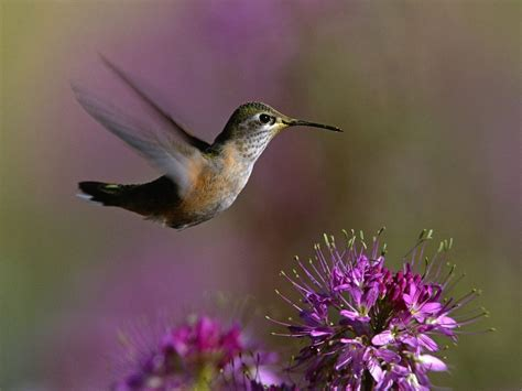 hummingbirds images hummingbirds hd wallpaper and