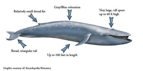 Blue Whale Diagram Bison Diagram Elsavadorla - blue whale diagram images