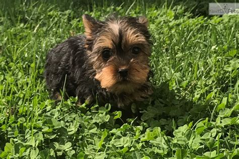 yorkies for sale in md alex terrier yorkie puppy for sale near baltimore maryland 907acd90 2ba1