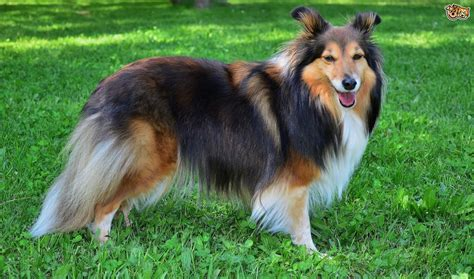 sheltie breed shetland sheepdog breed information buying advice photos and facts pets4homes
