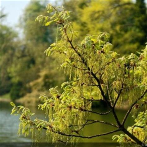 maple tree allergies list of synonyms and antonyms of the word oak tree pollen