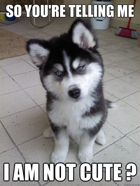Cute No Meme - so you re telling me i am not cute skeptical husky