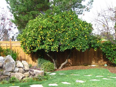 patio orange tree standard navel orange tree landscape more