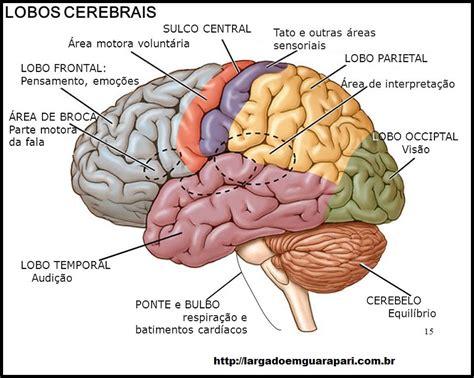 imagenes de el cerebro humano pin cerebro humano on pinterest