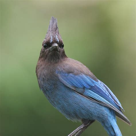 21 best images about stellar jay pics on pinterest