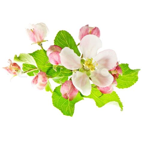 apple wallpaper white flower spring flowers apple blossoms on white background stock