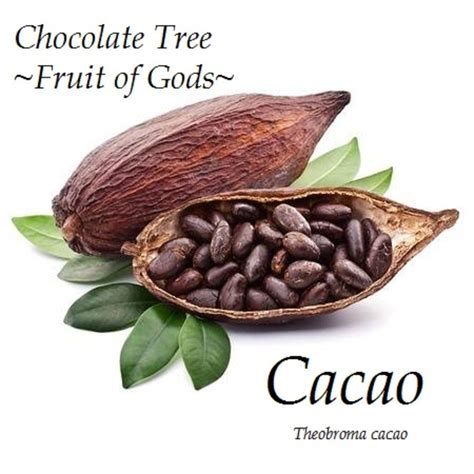 where the gods plants and peoples of the books fruit of gods chocolate tree theobroma cacao cocoa small