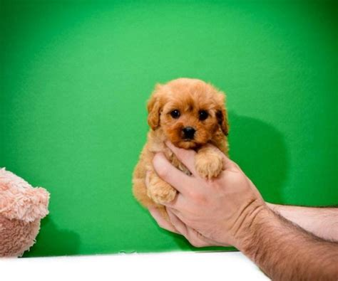 cavapoo puppies for sale florida beautiful f1 cavapoo puppies available cavapoo for sale