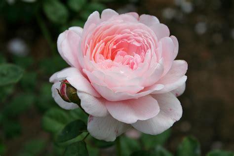 Make Beautiful by File Pink Rose 1 Jpg Wikimedia Commons