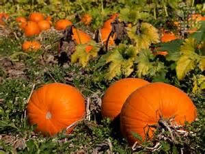 dru stefan stone october 2012 pumpkin patch desktop