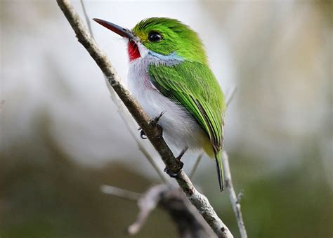 the birds and the how the cbc can help save birds in cuba audubon