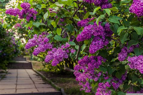 blooming lilacs in the botanical garden in kyiv 183 ukraine
