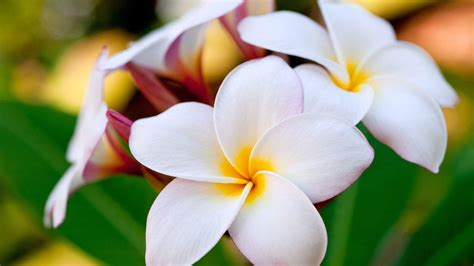 Hawaiian Flower Backgrounds Wallpaper Cave Hawaiian Flower Backgrounds