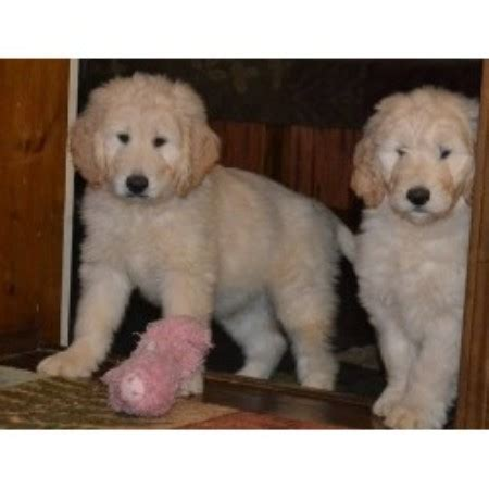 golden retrievers for sale in ohio golden retriever goldendoodle pups for sale wisconsin breeder breeds picture