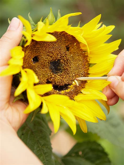 Sunflower S 1 how to plant sunflowers in decorative pots hgtv