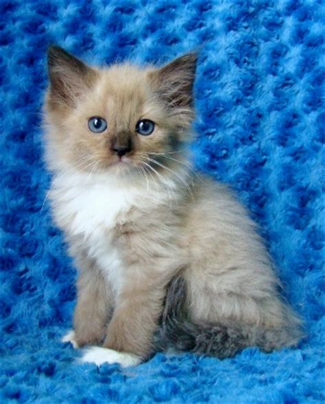 cats for sale ragdoll kittens for sale buy ragdoll kittens
