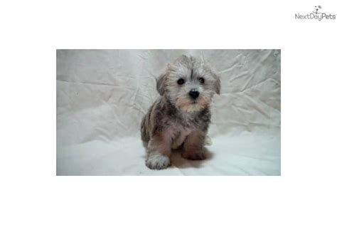 puppy for sale michigan schnoodle puppies for sale newhairstylesformen2014
