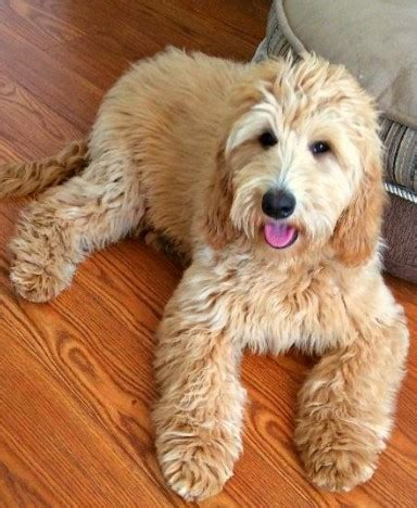 goldendoodle puppy progression goldendoodle puppies