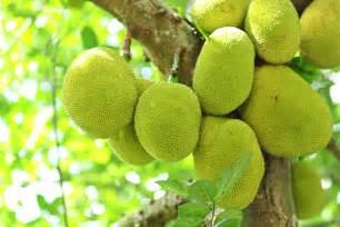 Fruit Tree Spikes - jackfruit farming in india indianfarming in