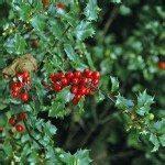 diferent female bush holly shrub