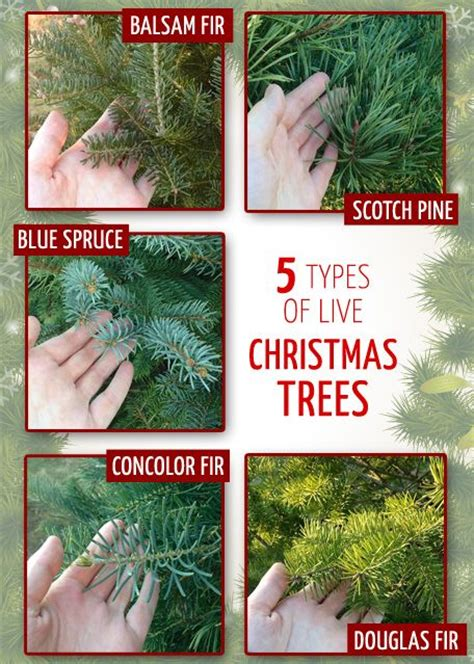 christmas tree types comparison best 25 tree farms ideas on tree tree farms near me and