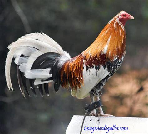 gallos de peleas de todas las razas gallos de peleas de todas las razas gallos de peleas de