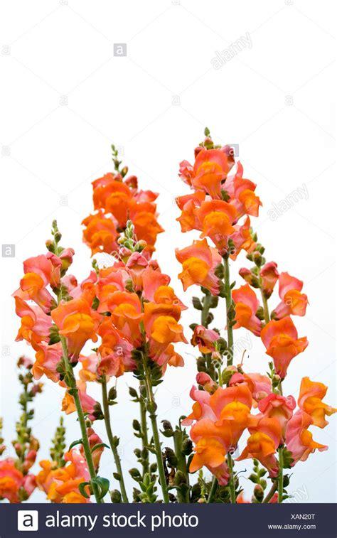 foto fiore bocca di isolato bocca di rosso fiore foto immagine stock