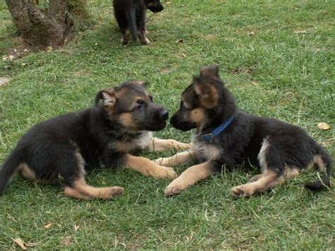 house trained dogs for sale uk obedience trained gsd puppies swindon wiltshire pets4homes