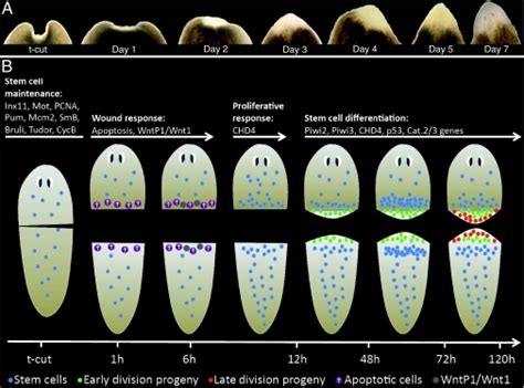 regeneration and pattern formation in planarians iii f2 0040012 the planarian flatworm an in vivo model for
