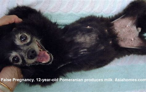pomeranian gestation 0819asingapore veterinary education stories published by asiahomes
