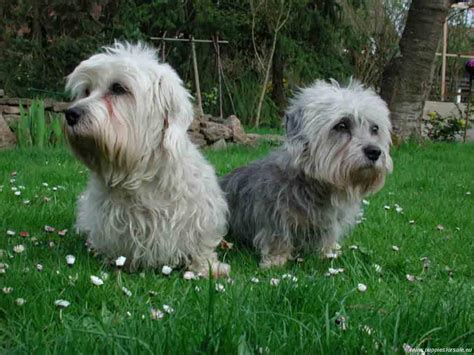 dandie dinmont terrier puppies two dandie dinmont terrier dogs photo and wallpaper beautiful two dandie