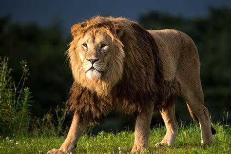 imagenes full hd de leones fondos de pantalla de leones wallpapers
