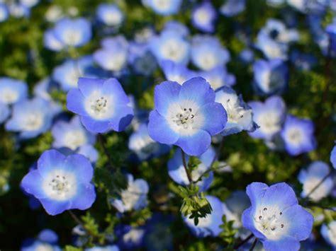 blue flowers   garden saga