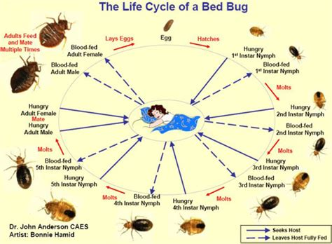 how long can bed bugs live without feeding facts about bedbugs identification biology feeding