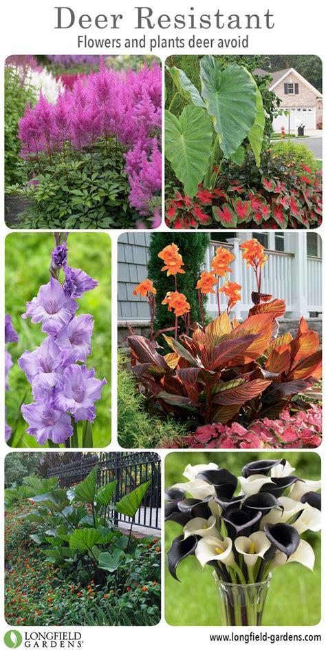 deer resistant plants the gardeners coach 147 best deer resistant plants images on pinterest deer